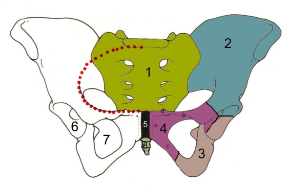 The key role of the sacrum in healthy movement control and pain free performance
